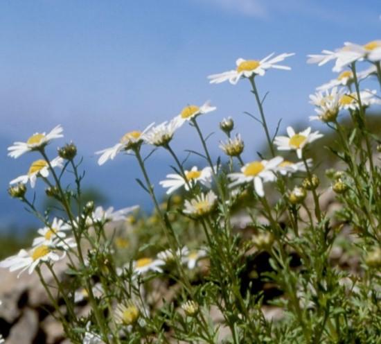 작은 들꽃, 구절초를 들여다보는 시간