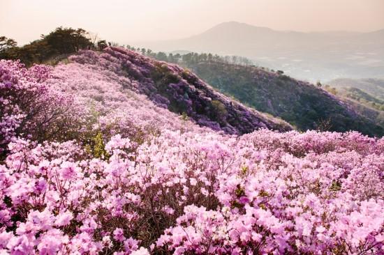산에 피는 진달래꽃 사진