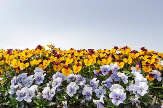 꽃축제와 유사한 많은 수의 팬지 사진