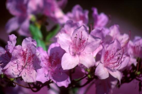 [꽃과 선거]참꽃과 개꽃 관련이미지 2